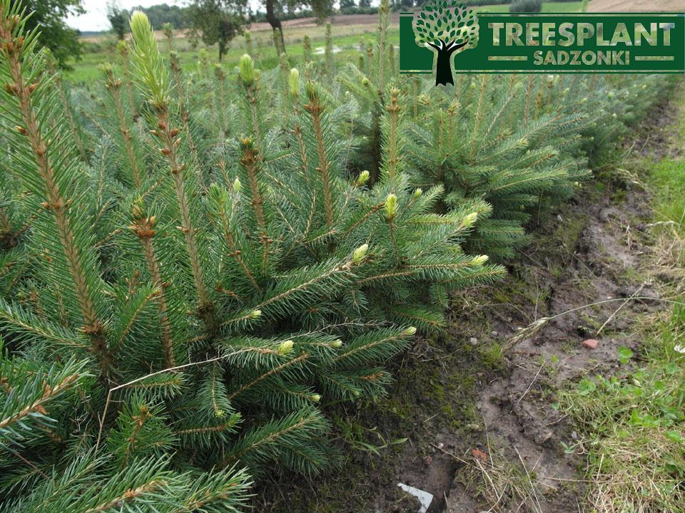 Picea pungens glauca kaibab - są to sadzonki świerka srebrnego kłlującego uprawianego w szkólce. wszystkie rośliny są odpowiednio rozbudowane i ukształtowane