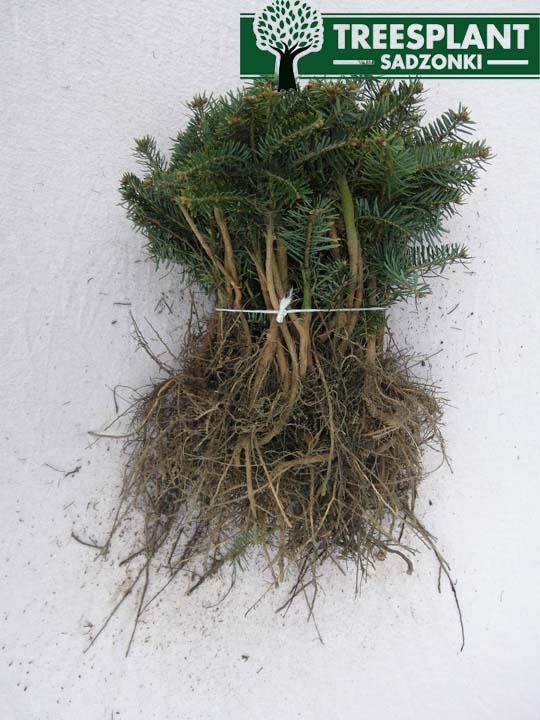 System korzeniowy sadzonek jodły kaukaskiej