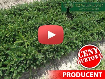 Video sadzonki jodła kaukaska 15-25cm