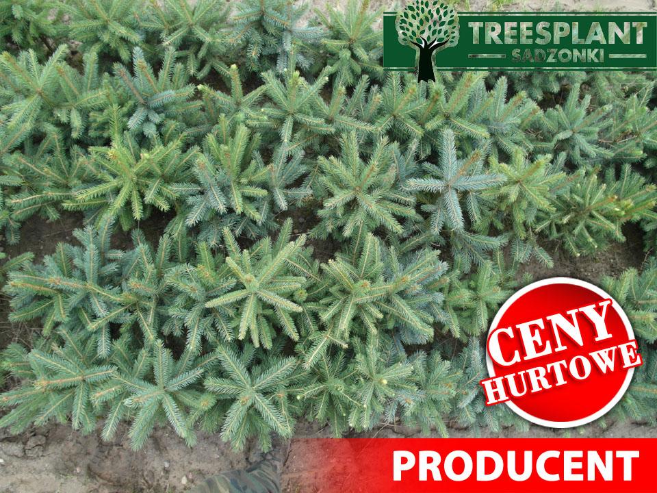 czteroletnie sadzonki świerka kłującego kaibab. szkółkowane w pięciu rzędach co gwarantuje piękny rozwój roślin