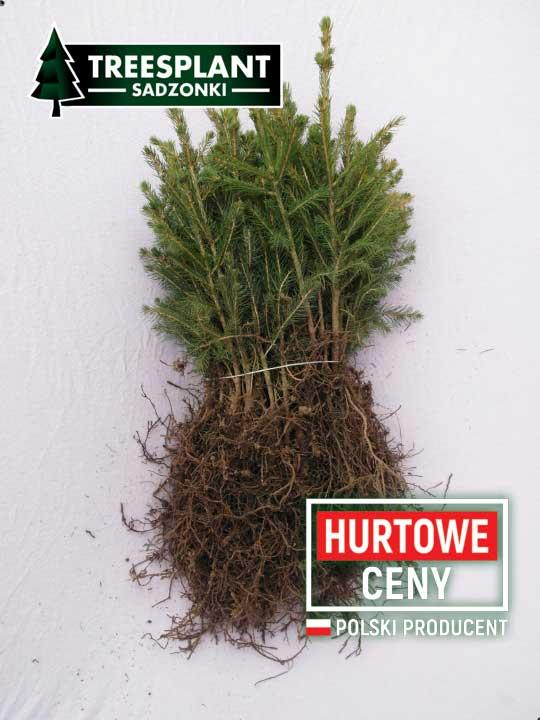 Bardzo dobry system korzeniowy choinek. dzięki podcinaniu sadzonki świerka pospolitego sa bardzo dobrze rozwinięte.