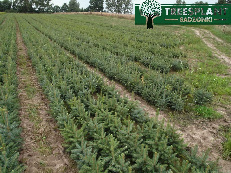 Picea pungens glauca Świerk srebrny Kłujący