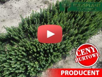 Świerk srebrny na youtube wpisz treesplant i zobacz
