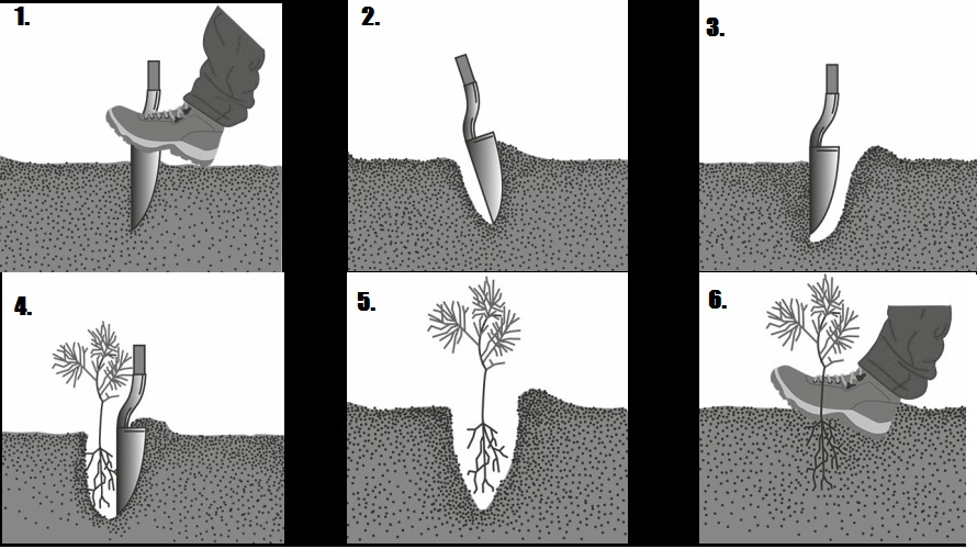 technika-sadzenia-choinek-na-plantacji